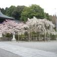 4/5 近江神宮のしだれ桜