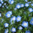4/14 青いお花