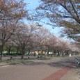 4/14 桜並木のお目見え