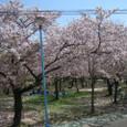 4/10 城北公園の桜